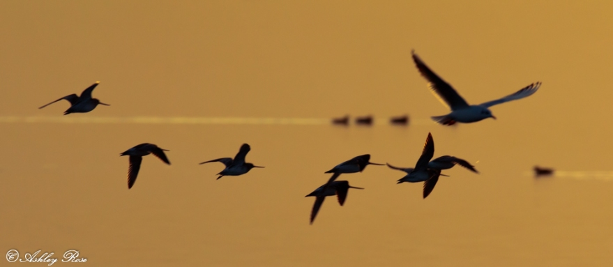 Godwits, Gull and Widgeon sunset-1849