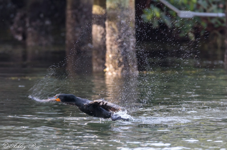 Great Cormorant-2641