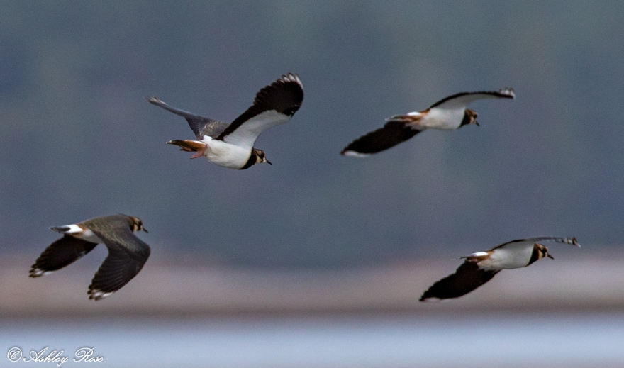 Lapwings-1049