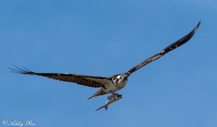 Osprey with a Fish-2368