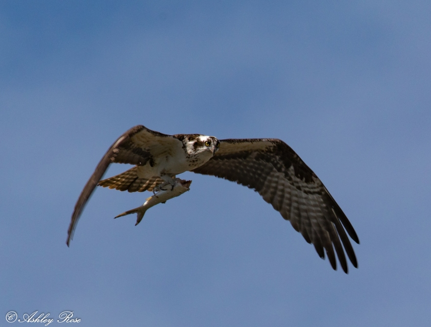 Osprey with fish-2366