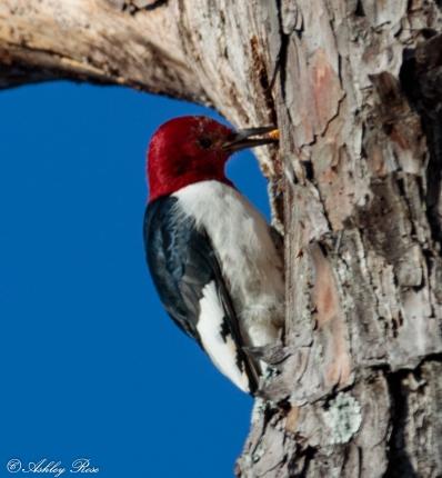 Red Headed Woodpecker-2283