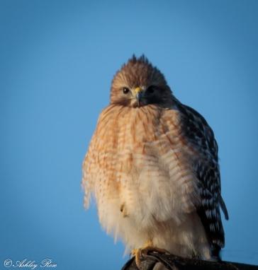 Red Shouldered Hawk-2231