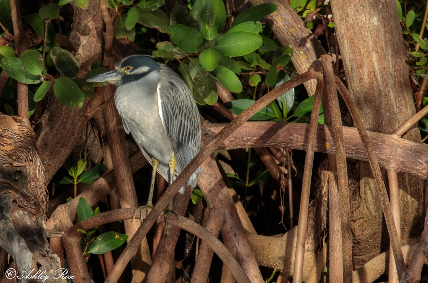 Yellow Crowned Night Heron-2501