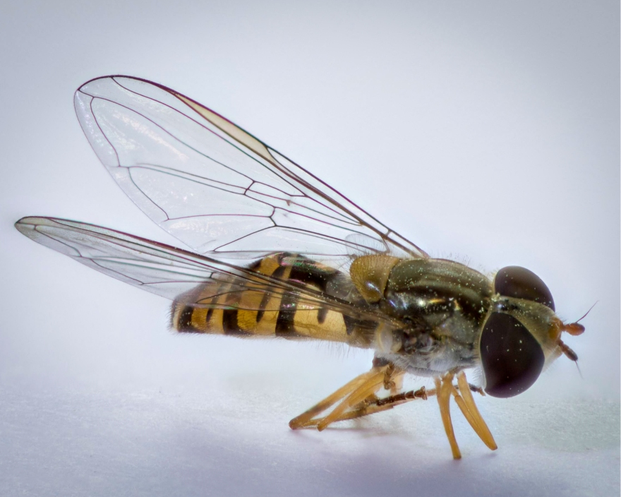 Hover Fly (Episyrphus balteatus)-25