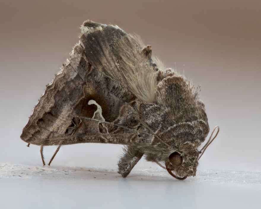 Moth Stacked-17